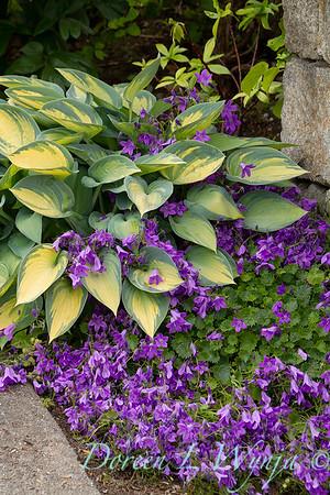 Hosta 'June' - Campanula 'Birch Hybrid' combo_1575