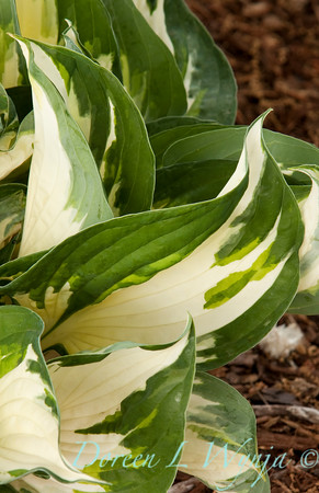 Hosta Fire and Ice_004