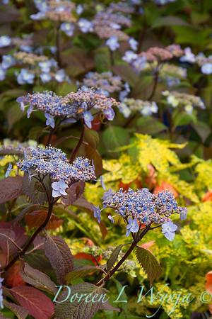 Hydrangea serrata 'Blue Billows'_2725