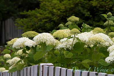 Hydrangea arborescens 'Annabelle' picket fence_2912