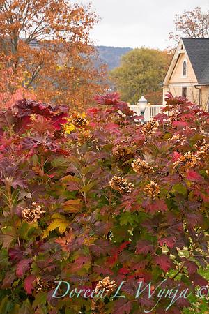 Hydrangea quercifolia oakleaf - fall color_7066