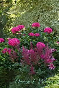 Hydrangea macrophylla 'Merritt's Supreme' - Astilbe chinensis 'Purple Rain'_3905