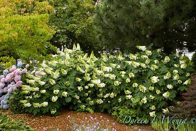 Hydrangea quercifolia Alice_059_Doreen Wynja