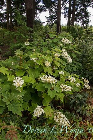 Hydrangea quercifolia_5359
