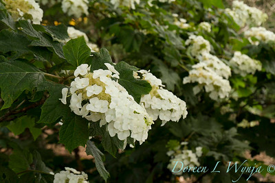 Hydrangea quercifolia Alice_027_Doreen Wynja