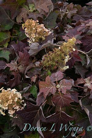 9317 Hydrangea quercifolia 'Munchkin'_5463