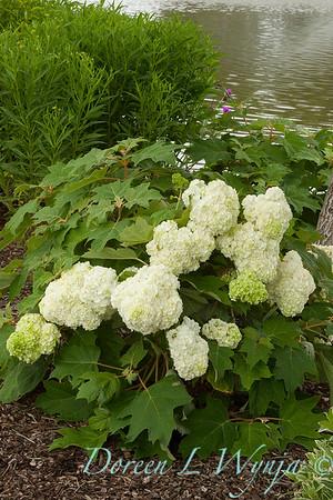 Hydrangea quercifolia Vaughn's Lillie_009