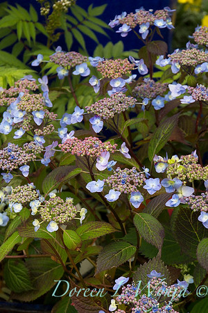 Hydrangea serrata 'Blue Billows'_2729