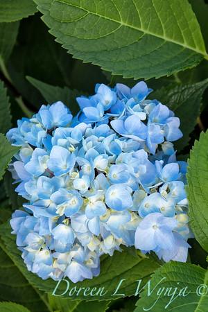 9275 Hydrangea macrophylla 'Monmar' Enchantress_470_20x