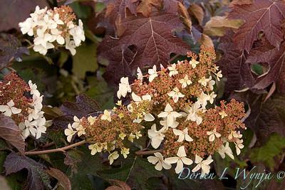 4256 Hydrangea quercifolia Pee Wee_023