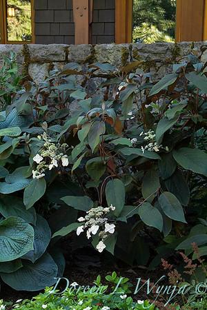 Hydrangea aspera 'Plum Passion'_550