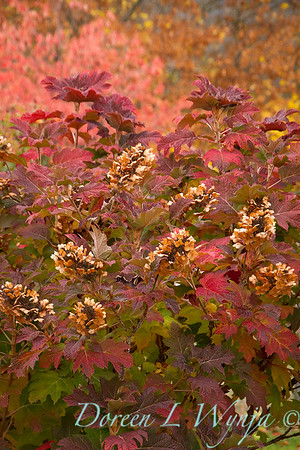 Hydrangea quercifolia oakleaf - fall color_7063