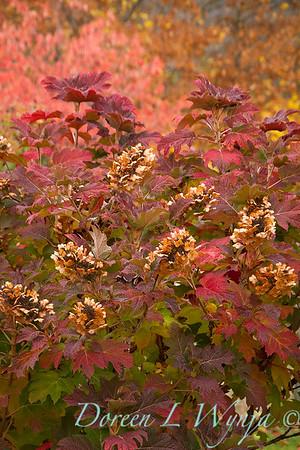 Hydrangea quercifolia oakleaf - fall color_7063