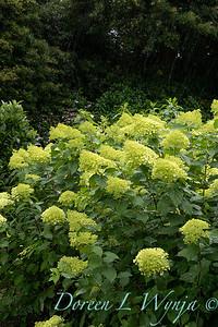 Hydrangea paniculata 'Limelight'_3507