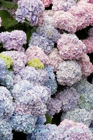 Hydrangea Nikko Blue_002