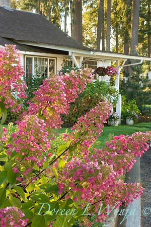 4202 Hydrangea Angel's Blush Monrovia_9-26-05_004