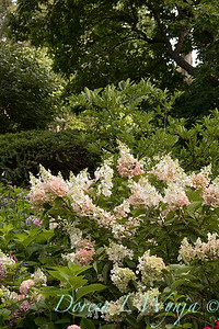 Hydrangea paniculata 'Ruby' Angel's Blush_1405