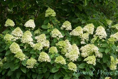 Hydrangea Limelight_001