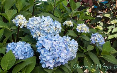 9275 Hydrangea macrophylla 'Monmar' Enchantress_472_20x