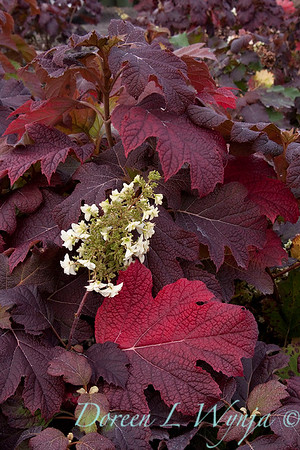 4204 Hydrangea quercifolia Snowflake_012