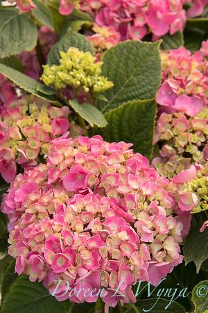 4195 Hydrangea macrophylla 'Merritt's Beauty'_6610