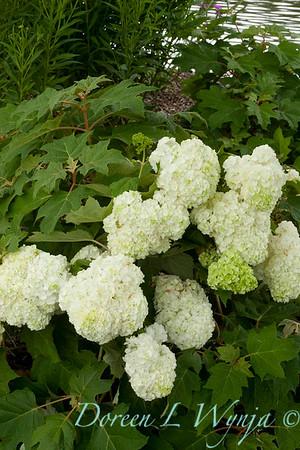 Hydrangea quercifolia Harmony_022_Doreen Wynja