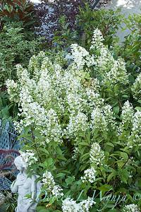 Hydrangea paniculata Tardiva_023