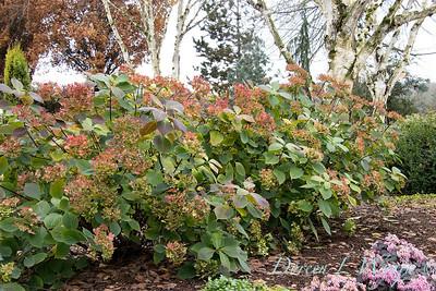 4201 Hydrangea macrophylla 'HYMMADII' Midnight Duchess in a landscape_5428