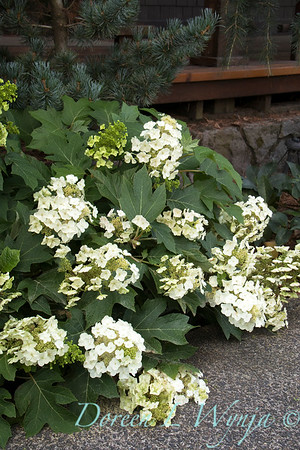 9317 Hydrangea quercifolia 'Munchkin'_3928