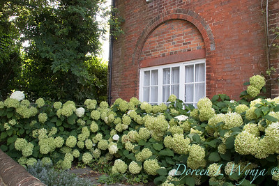 Hydrangea arborescens 'Annabelle' landscape_161