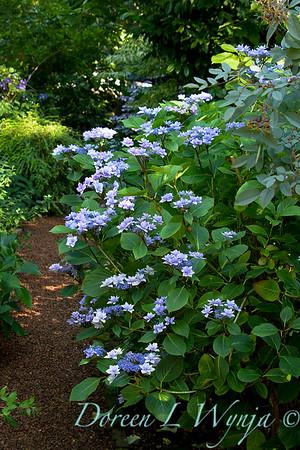 Hydrangea macrophylla Jogasaki_012