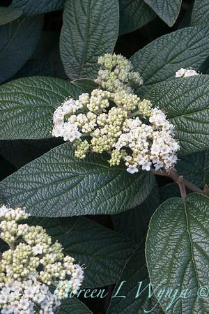 7530 Viburnum rhytidophylloides Allegheny_001