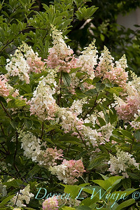 Hydrangea paniculata 'Ruby' Angel's Blush_1409
