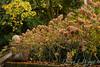 Hydrangea paniculata_505