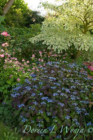 Hydrangea serrata Blue Billow_6406