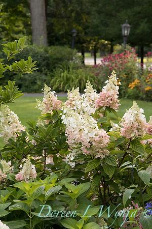 Hydrangea paniculata 'Ruby' Angel's Blush_1418