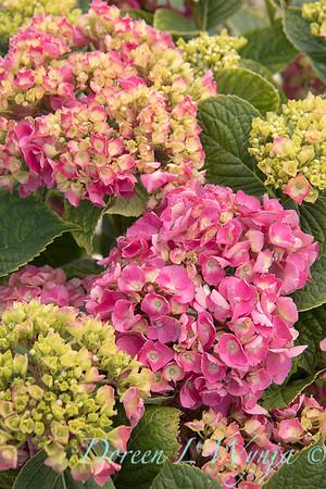 4195 Hydrangea macrophylla 'Merritt's Beauty'_6607
