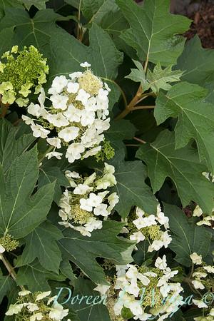 9317 Hydrangea quercifolia 'Munchkin'_3924