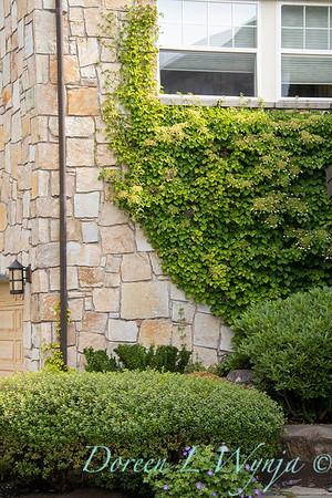 Hydrangea anomala petiolaris - climbing rock wall - Escallonia_2726