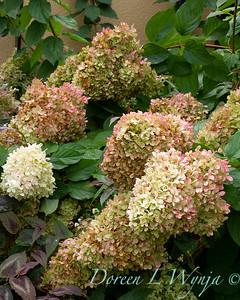 Hydrangea paniculata 'Limelight'_8478