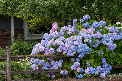 Hydrangea macrophylla blue_020