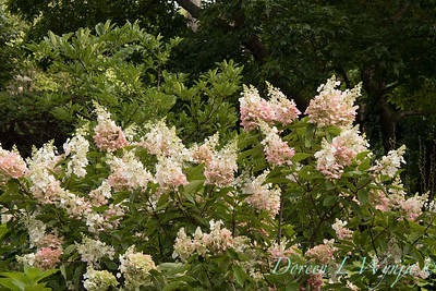 Hydrangea paniculata 'Ruby' Angel's Blush_1407
