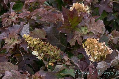 9317 Hydrangea quercifolia 'Munchkin'_5468