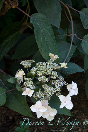 Hydrangea aspera 'Plum Passion'_553