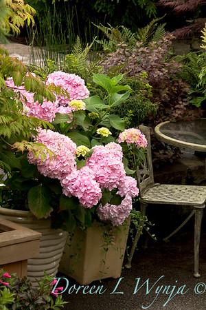2375 Hydrangea macrophylla Penny Mac_005