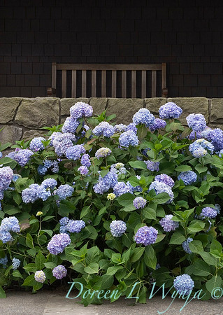 1731 Endless Summer Hydrangea_002