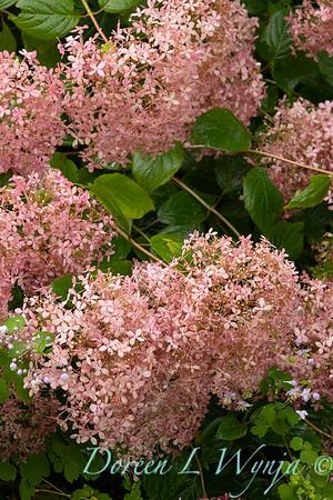 Hydrangea arborescens 'NCHA1' Invincibelle Spirit_9586