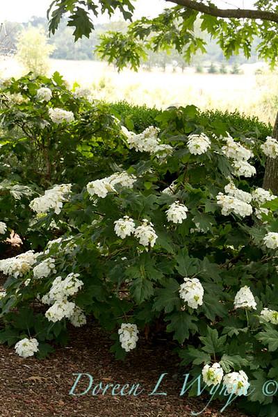 Hydrangea quercifolia Alice_024_Doreen Wynja