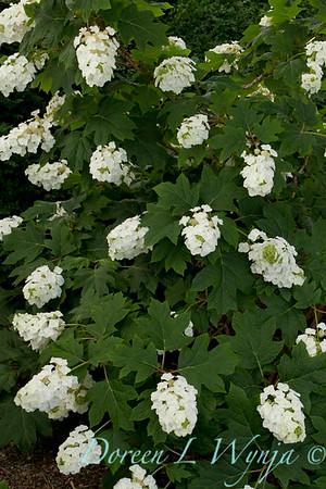 Hydrangea quercifolia Alice_028_Doreen Wynja