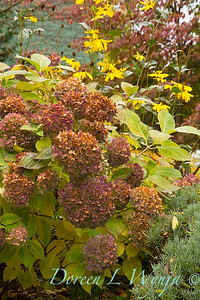 Hydrangea macrophylla Fall_704